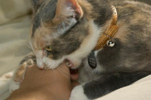 Cat biting human hand