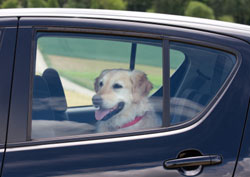 dog left in hot car graphic