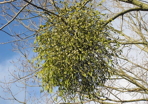 Large Bunch of Mistletoe Hanging from a Tree
